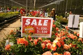 roses for sale sizzling plant sale scorches last year s numbers uc davis