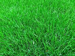 fescue grass seed uk all the best grass in 2017