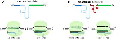 frontiers efficient crispr cas9 mediated genome editing using a