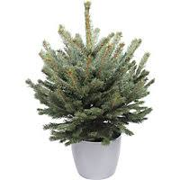 living blue spruce tree 1 5 2ft 10