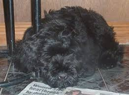 affenpinscher qualities black russian terrier dog breed information and pictures