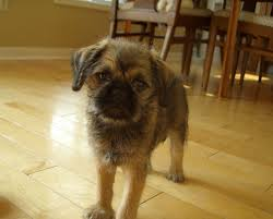 affenpinscher vs brussels griffon brug u2013 brussels griffon and pug hybrid dog doggies pinterest