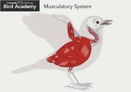 bird external anatomy choice image learn human anatomy image