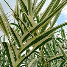 buy ornamental grasses cheap grasses plants