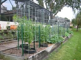 16 ft cattle panel tomato trellis doing this with my 8 ft