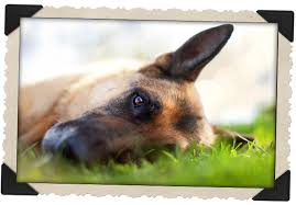pet euthanasia at home pet euthanasia at home provides comfort privacy and a calm