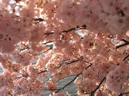 blossom trees japanese cherry blossom trees background wallpapers download