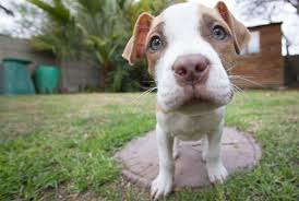 american pitbull terrier natural ears what you need to know about ear cropping puppy leaks