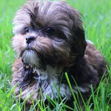pictures of shorkie dogs with long hair shorkie breed information characteristics heath problems