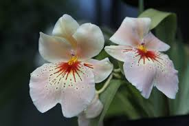 Which Jasmine Plant Is Most Fragrant - fragrant houseplants for a nice smelling home simplemost
