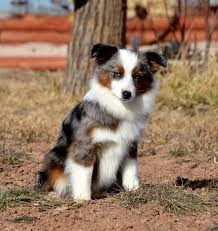 australian shepherd shedding about aussies color country aussies
