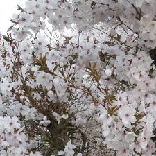 28 pruning flowering cherry tree cherry kwanzan flowering