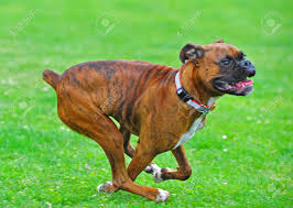 boxer dog howling abstract blurs as a brindle boxer dog runs through a field stock