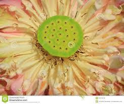 Lotus Flower Bloom - close up pink lotus flower royalty free stock images image 34575549