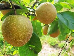 gourmet pears a new pear welcomed as harvest begins for subarashii kudamono pa