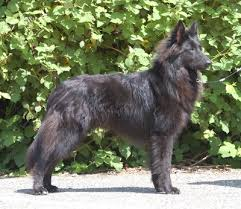 belgian sheepdog oregon bluie reverie belgian sheepdogs