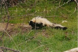 zoonosis walkin u0027 wild skunk rescue