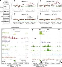 distinct factors control histone variant h3 3 localization at