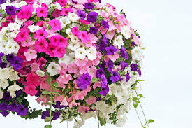 petunia flowers petunia flower meaning flower meaning
