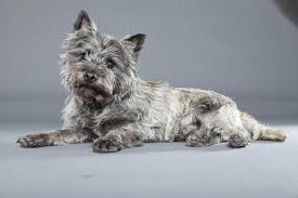 brindle cairn haircut colors of cairn terriers dog care the daily puppy