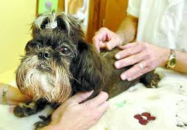 affenpinscher nc animal lovers look to acupuncture to cure their pets u0027 pain news
