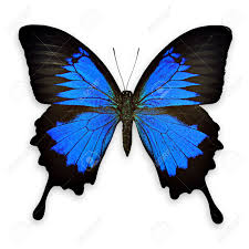 black and blue butterfly on white background papilio ulysses