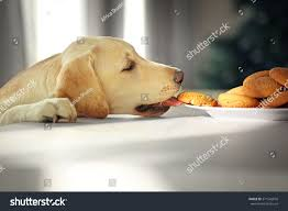 Kitchen Table Close Up Cute Labrador Dog Eating Tasty Cookies Stock Photo 371542810