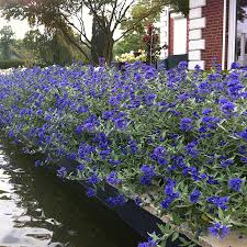 Bluebeard Flower - sapphire surf bluebeard from park seed