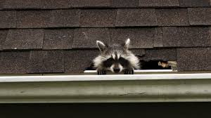 keep your eyes peeled photos raccoon backyard bandit