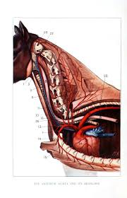 from scientificillustration anatomically inclined