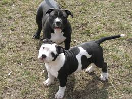 american pitbull terrier gotti razors edge bully pitbulls for sale gotti dogs razors edge dogs steelhead