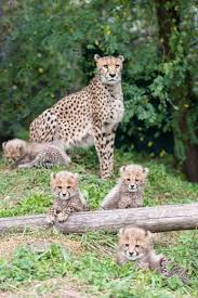 affectionate cheetahs wallpapers 1753 best cheetahs images on pinterest wild animals big cats