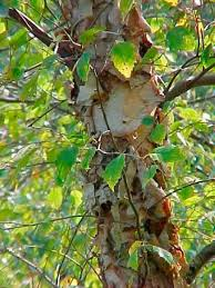 87 best birch images on birches birch and drawing trees