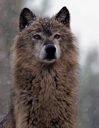 gray wolf last name ralphs from the name randalf meaning