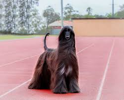 afghan hound creepy animal the pretty long haired afghan hound dogs and the least