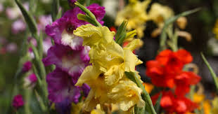 A Look Back Fort Myers The Gladiolus Capital