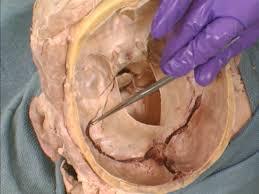 Behind The Ear Anatomy Sinus Diagram Ear Periodic Tables