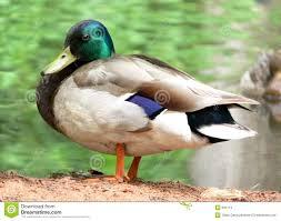 high resolution mallard duck stock images image 891114