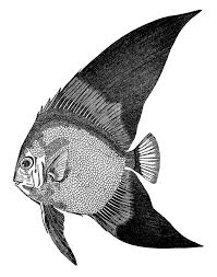 vintage clip art fish engravings the graphics fairy