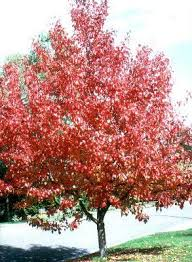 ornamental pear trees plants hello hello plants garden supplies