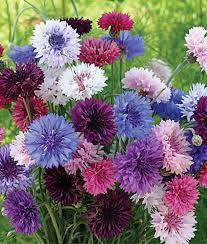 bachelor buttons button mix seed 1 packet