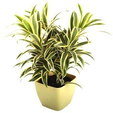 song of india this attractive houseplant is nasa u0027s best air