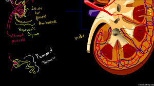 the kidney and nephron video khan academy