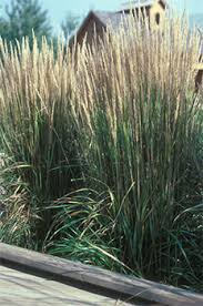 yard and garden handling ornamental grasses for fall foliage and
