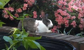 rabbits memphis backyard farmer