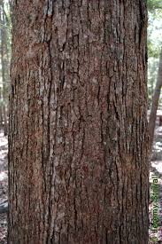 White Oak Bark Fagaceae Quercus Lyrata Overcup Oak Lab 5