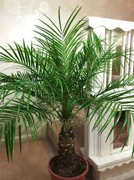 phoenix roebelenii pygmy date palm pot indoor outdoor tree