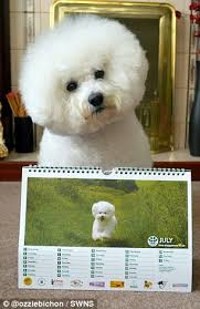 funny bichon frise quotes ozzie the bichon frise builds up huge following after hilarious