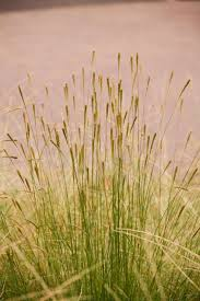 867 best ornamental grasses images on ornamental