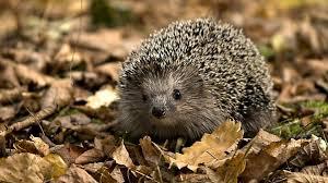 hedgehog animal hd desktop wallpaper hd desktop wallpaper
